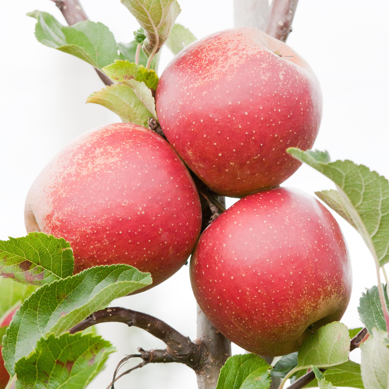 Smorenburg appels 5