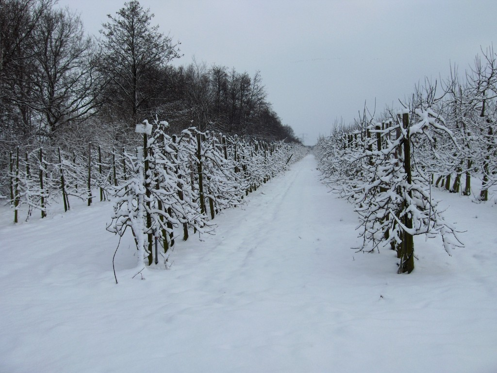 De boomgaard in de sneeuw