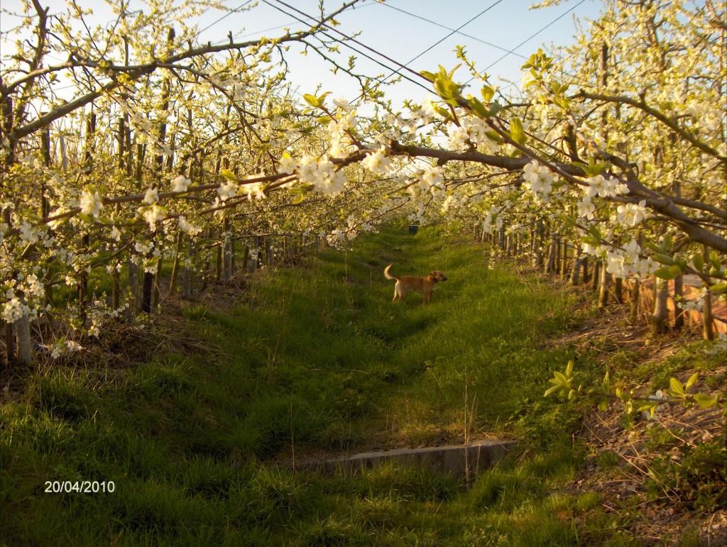 De Witteveen, onze boomgaard in bloei.