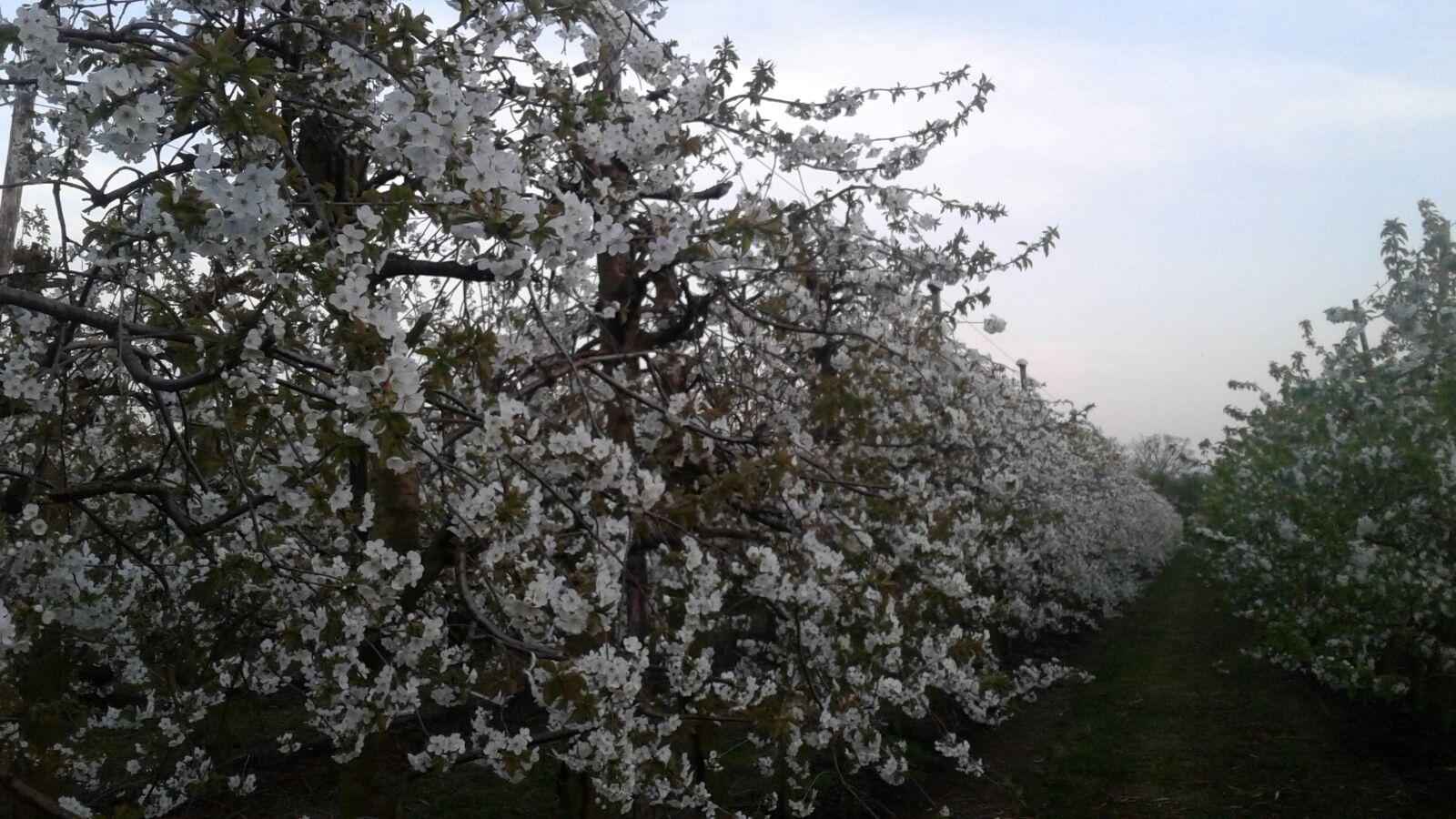 De kersenboomgaard in bloei – 2018